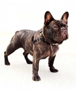 French Bull Dog Greenpoint Nicolas Maloof