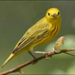 Yellow Warbler Greenpoint Brooklyn