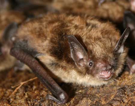 small brown bat