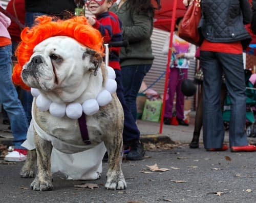 bulldog wilma halloween costume