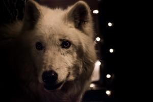 6b1be8b9d4a335a49ddadd357b51f62bsteven acres - atka the wolf (25 of 25)