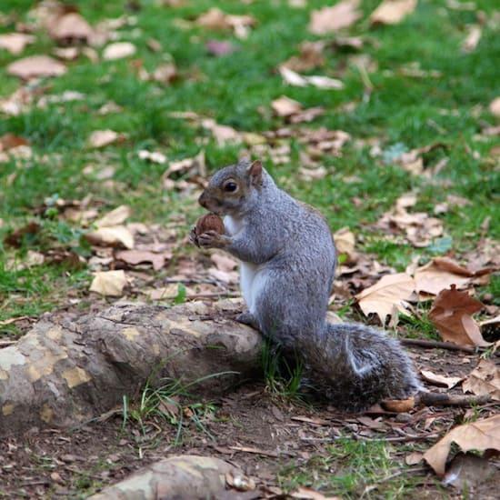 squirrel_Brooklyn_Pasture_Rosie_de_belgeonne