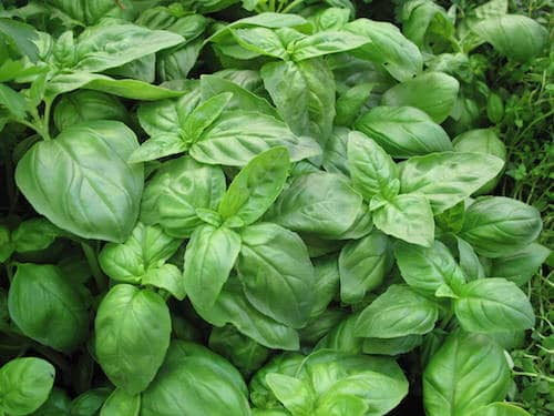 Find fresh herbs soon, including this basil perfection