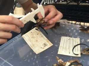 Measuring the new oysters